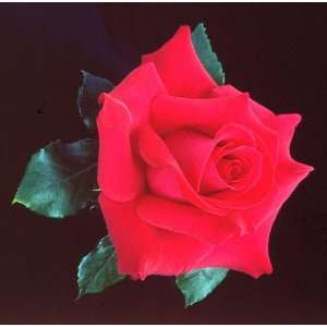 Let Freedom Ring Hybrid Tea Rose: Patio, Lawn & Garden
