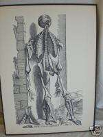 vintage MEDICAL PRINT human ANATOMY bones CHEST CUT OUT