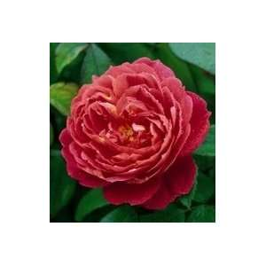 Benjamin Britten Rose Seeds Packet Patio, Lawn & Garden