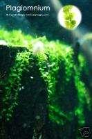Pearl Moss Fish Tank Live Aquarium Plant(FREE S&H) INV