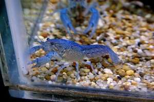 Electric Blue Procambarus Alleni Crayfish Moss Feeder Aquarium Plants