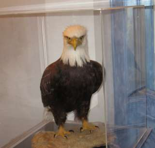 AMERICAN BALD EAGLE ONE OF KIND IN WORLD MUSEUM QUALITY